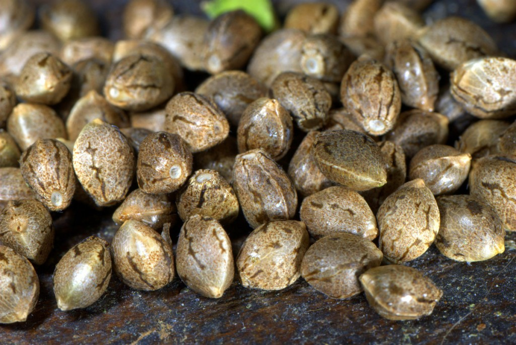 Autoflowering-Cannabis-Seeds_